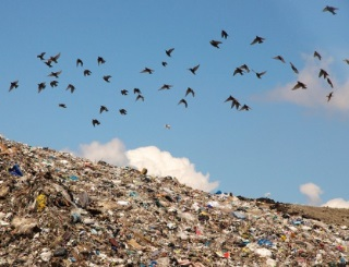 A photo of a flock of black birds flying over a large hill covered in garbage.